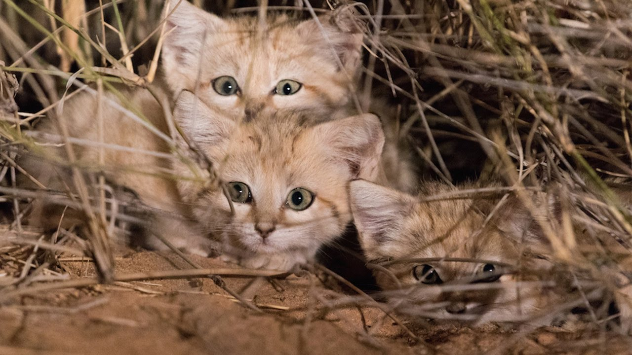 adorable-rare-wide-eyed-sand-cat-kittens-caught-on-video-for-first-time-ever