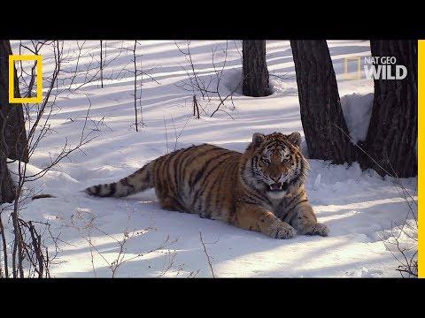 Le tigre de l'Amour à l'état sauvage