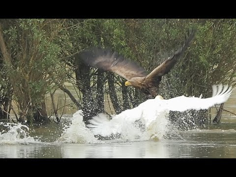 Eagle attacked by a swan