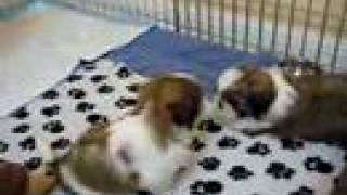 6 Weeks Old Shih Tzu Puppies