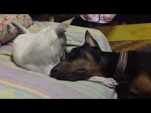 Stray Dog plays with my Doberman