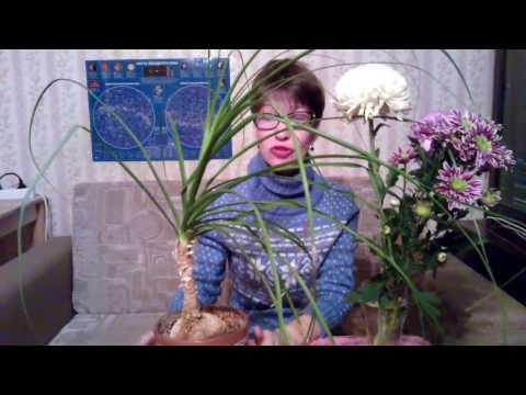 Вопрос: Комнатное растение Нолина- быстро ли растет?