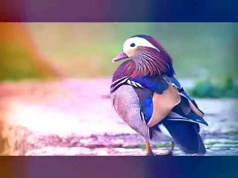 Islamic Songs 'Tumi Josti Mukul Misty Bokul'  Bangla Gojol 2016 New