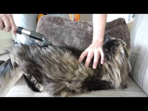 How to groom a cat (Siberian Forest cat)