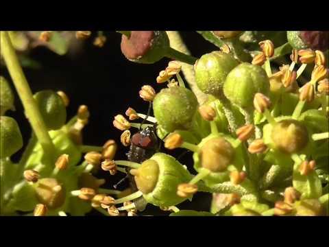 Stomorhina lunulata