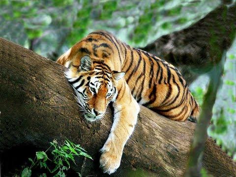 Тигры. Документальный фильм.