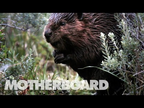 The Beaver Slayers of Patagonia