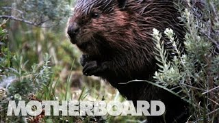 Video The Beaver Slayers of Patagonia download MP3, 3GP, MP4, WEBM, AVI, FLV Februari 2018