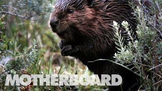 The Beaver Slayers of Patagonia thumbnail