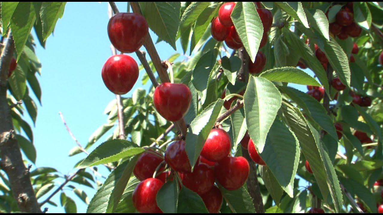 cseresznye giardiasis