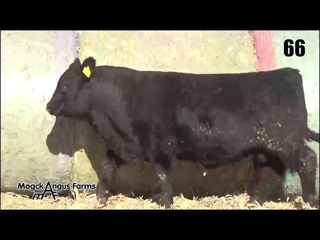 Mogck Angus Farms Lot 66