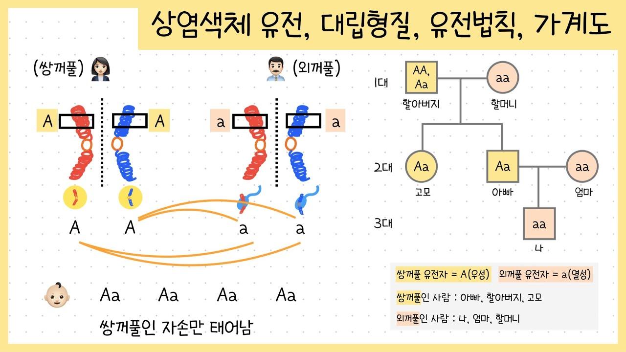 [중3 생식과 유전] 3.상염색체 유전 | 우성과 열성 | 유전법칙 (우열의 원리, 분리의 법칙, 독립의 법칙) | 가계도 해석하기👶🏻🧬👦🏻