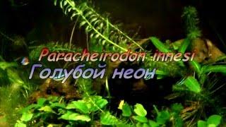 Неон обыкновенный голубой Paracheirodon innesi