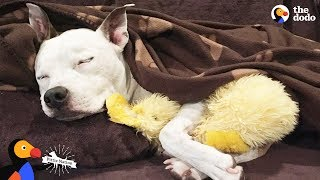 Pit Bull Dog's Mom Has The Best Reaction To Discrimination | The Dodo