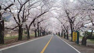 하동십리벚꽃길 쌍계사~화개장터 2020.3.28(토)