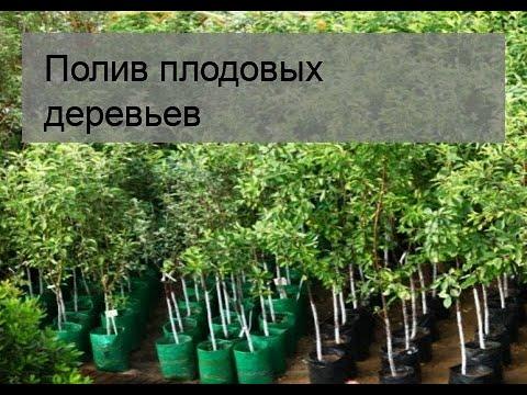 Вопрос: Как поливать плодовые деревья летом В какие сроки и насколько часто?
