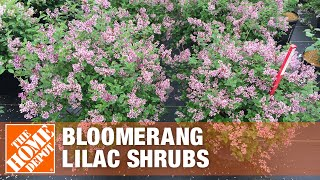 All About Bloomerang Lilac Shrubs - The Home Depot