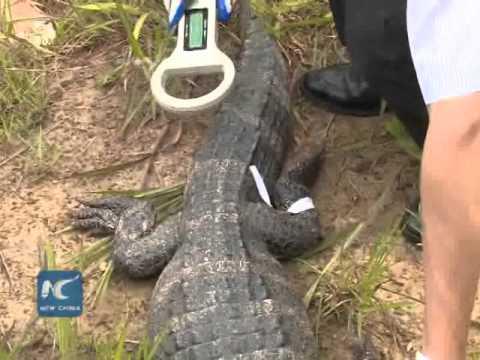 Wow! 15,000 alligators in China's 'crocodile lake'