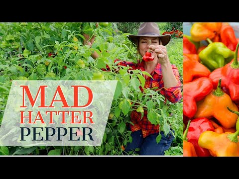 Mad Hatter Pepper: Unique pepper for the home garden