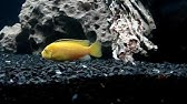 Popular Labidochromis caeruleus & Labidochromis videos - YouTube