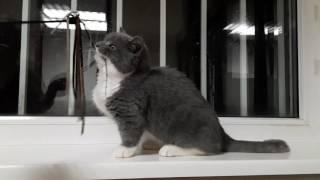 Barny De Aranid коротколапый котенок породы Манчкин