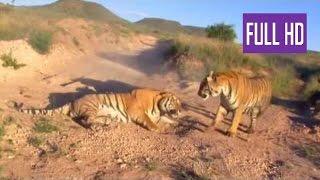 Жестокие бои тигров  Борьба на выживание в мире животных борьба животных