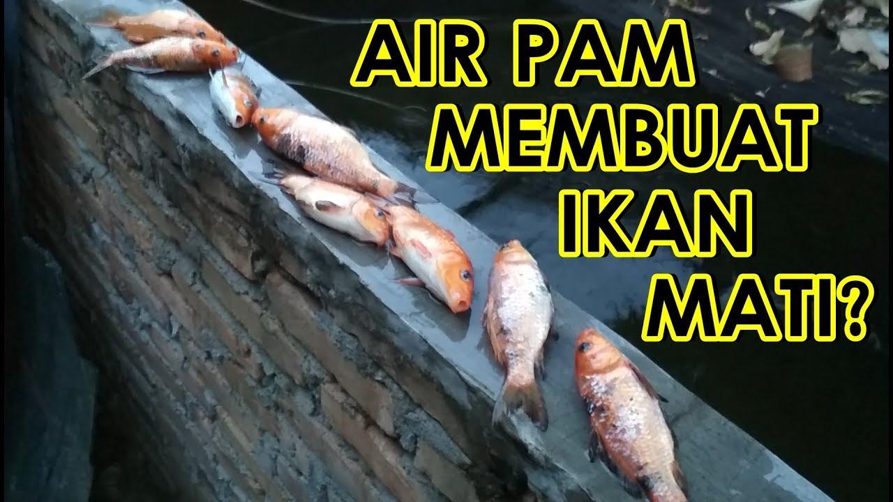 Ikan Pada Mati Karena Air PAM? - YouTube