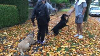 Hyperactive reactive Rottweiler Transformed | Perfect Companion K9