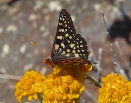 720p HD California Butterflies in the Field 2008 V03403