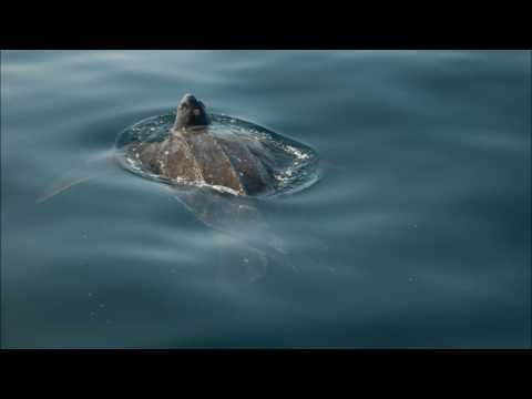 Lowlander Radio - Canadian Sea Turtle Network's Kathleen Martin