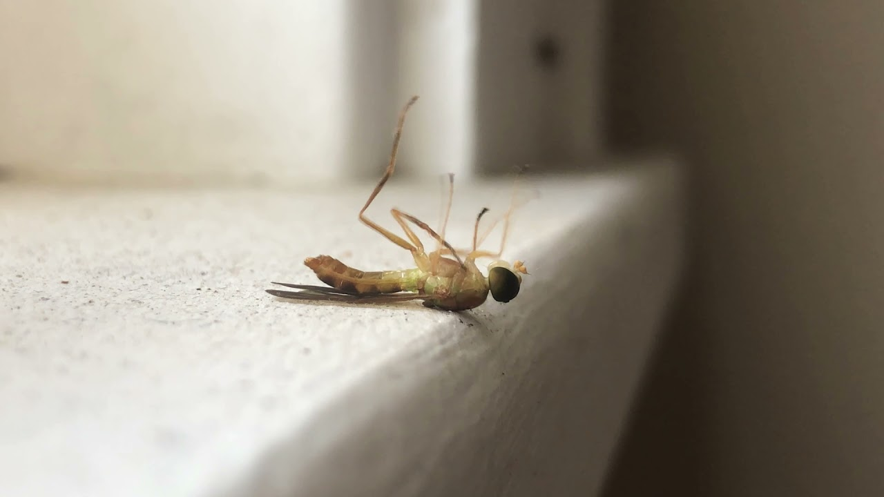 Windowsill (Soldier Fly)