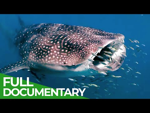 Whale Sharks: Gentle Giants | Blue Realm | Free Documentary Nature