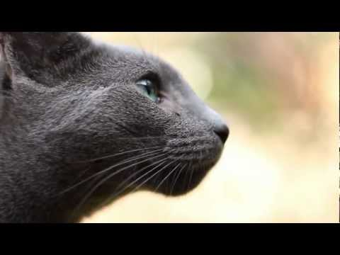 """""""Timmy"""" the Russian Blue Cat"""