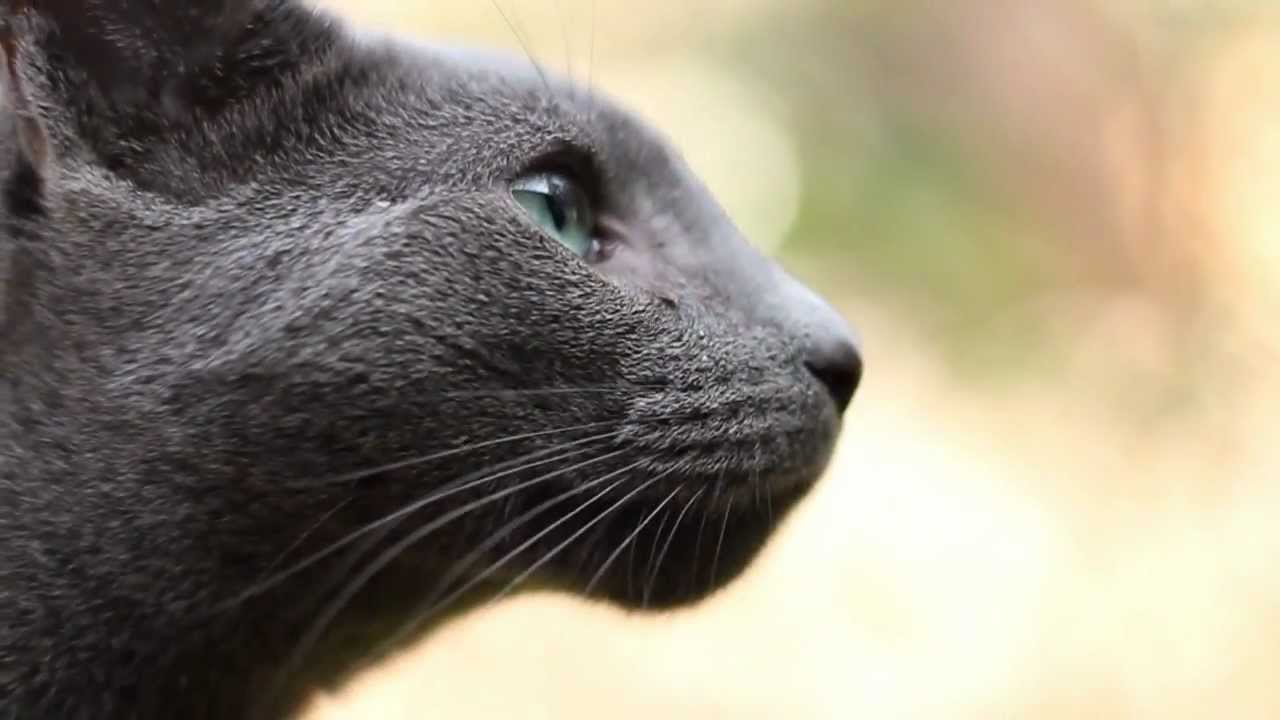 "Timmy"" the Russian Blue Cat"