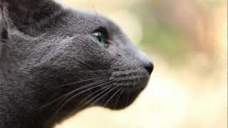 'Timmy' the Russian Blue Cat