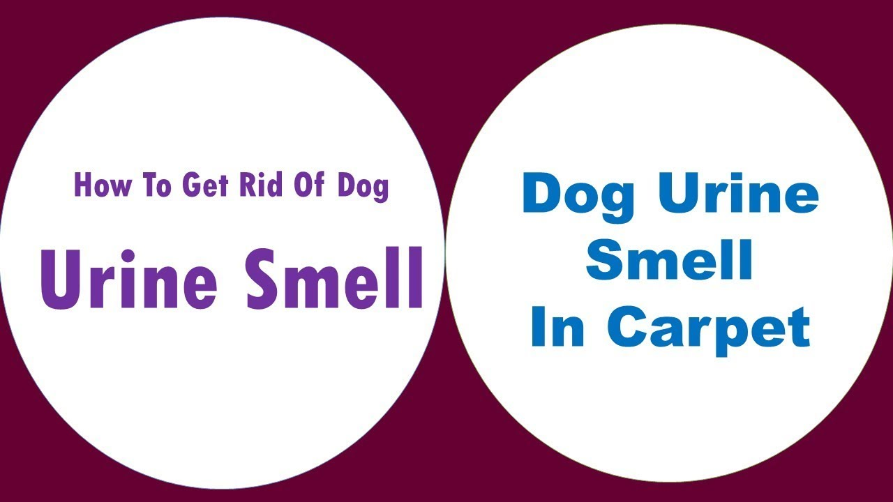 Get Rid Of Dog Urine Smell In Carpet