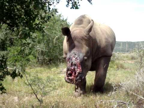 how to survive a rhinoceros attack How to survive a lion attack if you're managed to get yourself into a person vs lion situation, you probably don't know what to do about it thankfully, the internet is here for you.