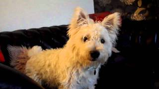Silly Westie Eating Toffee