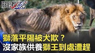 「獅」落平陽被犬欺?沒有了家族供養 昔日獅王骨瘦如柴到處遭趕! 關鍵時刻 20180524-3 王瑞德