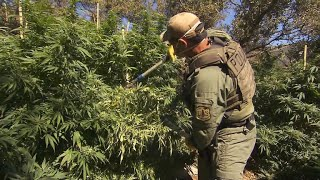 Illegal marijuana farms ravage America's national forests