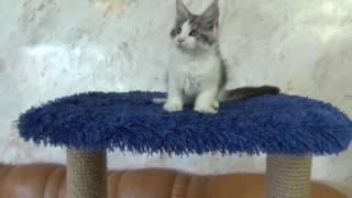 котенок мейн кун Volga Pride TYSON (2,5 мес)