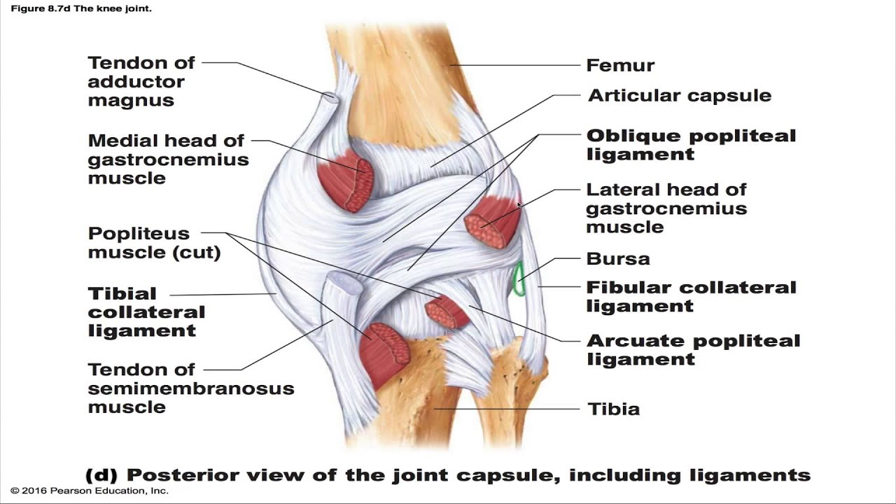 Hand Diagram Ligaments The Knee Joint Youtube
