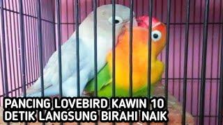 Download lagu Suara lovebird birahi kawin 🐦🔊 paling ampuh part 1