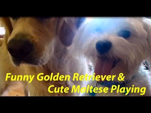 Abbey, Narnia & Ball Ball - Cute Maltese playing with Golden Retriever and Husky-German Shepherd