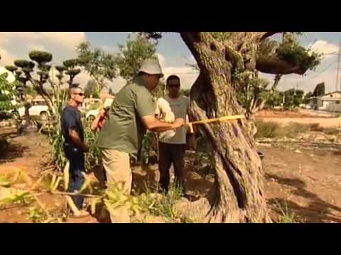 From Israel To The Vatican: An Ancient Olive Tree