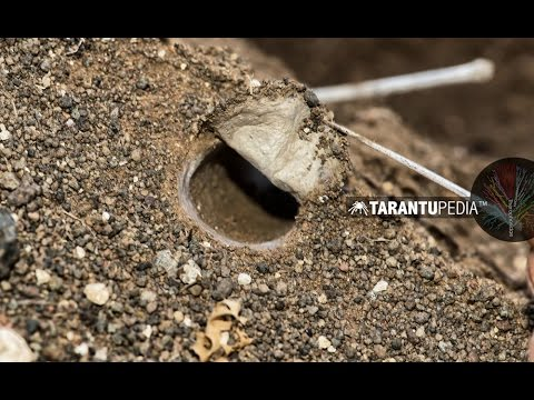 How a tarantula builds a trapdoor lid on its burrow
