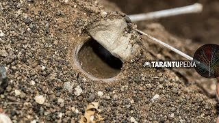 How a tarantula builds a trapdoor lid on its burrow