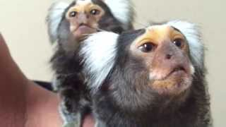 Two common marmosets with early signs of MBD and new old home