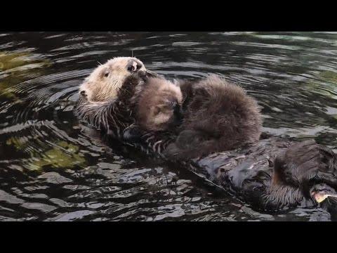 Otter surprises California aquarium by delivering baby