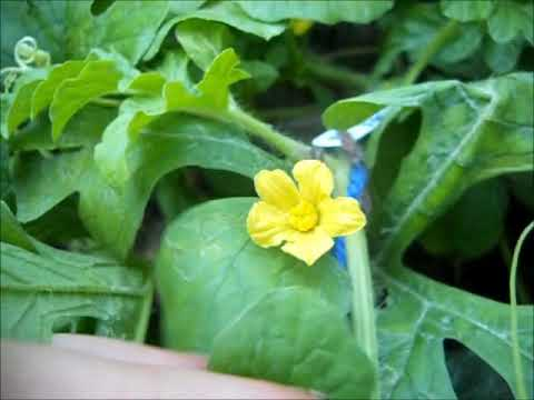 Watermelons Pollinating and Crossing